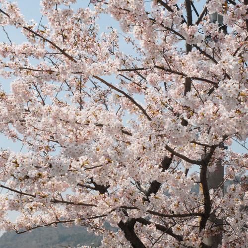 住吉霊園の春